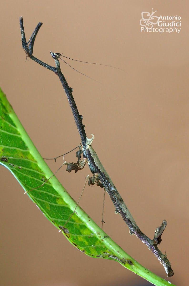 Dead Stick Mantid Paratoxodera Polyacantha Praying Mantis