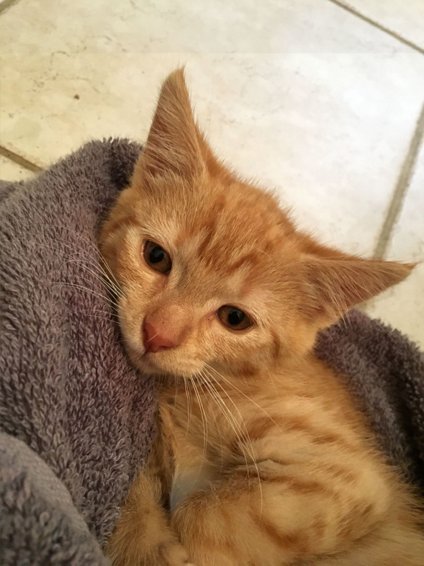 Adopt Scarlett On Petfinder Orange Tabby Cats Tabby Cat Tabby Cat Pictures