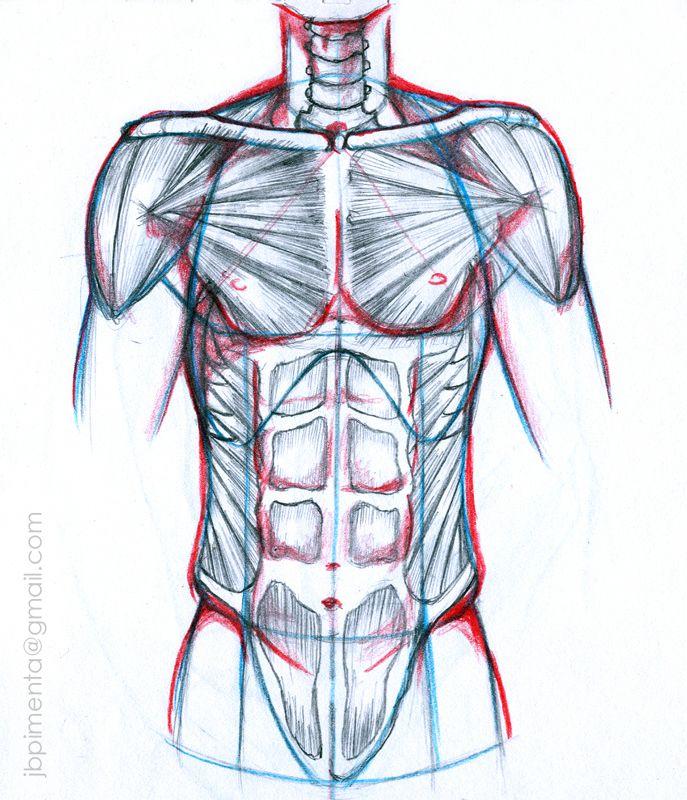 anatomia humana torso | referencia | Pinterest | Anatomía humana y ...