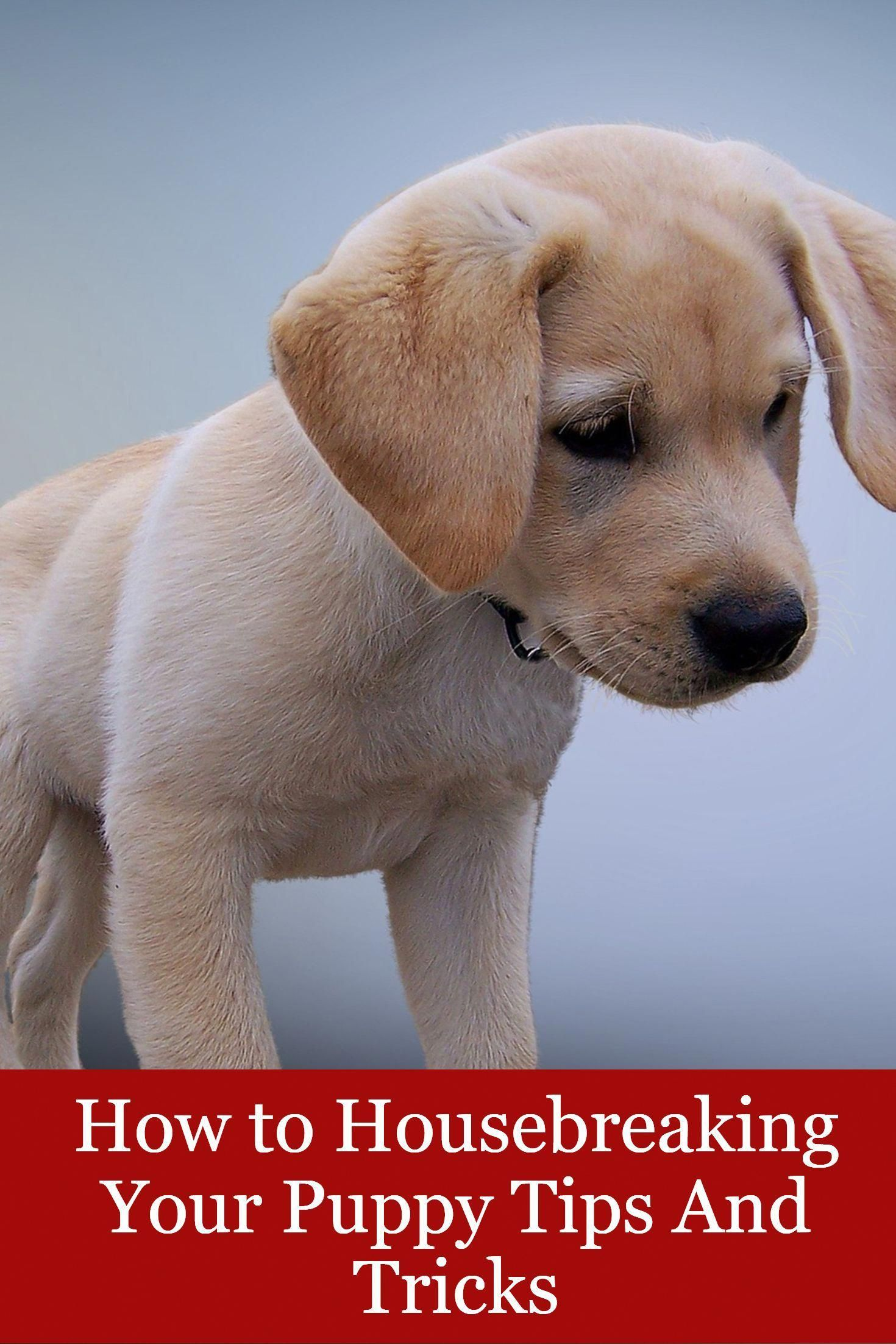 How To Housebreaking Your Puppy Tips And Tricks Housebreaking Puppy