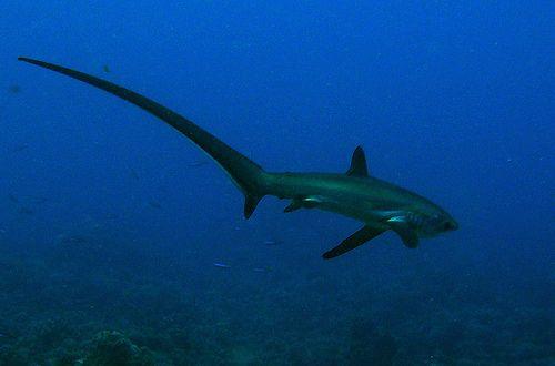 Thresher shark - in Spanish, El Tiburon Zorro! | Under the Sea ...