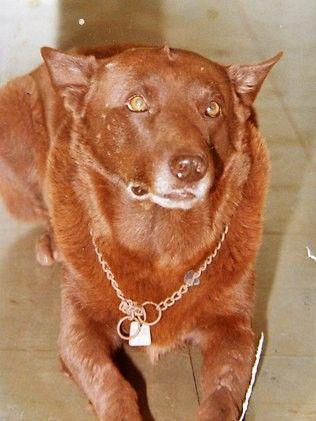 Red Dog Wa Www Reddogwa Com Red Dog Dog Stories Dogs