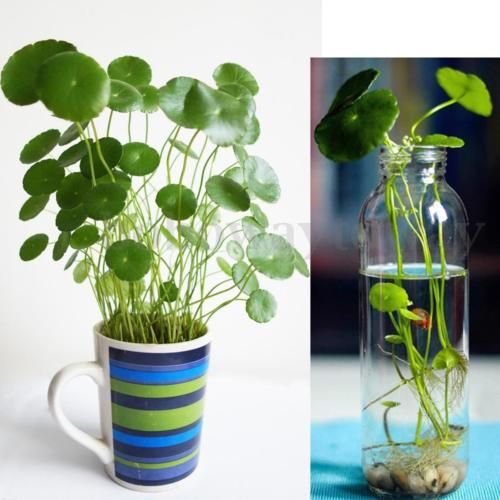 50x Hydrocotyle Vulgaris Pilea Seeds Green Water Soil Plant High Germination New Plants Indoor Water Garden Water Garden Plants