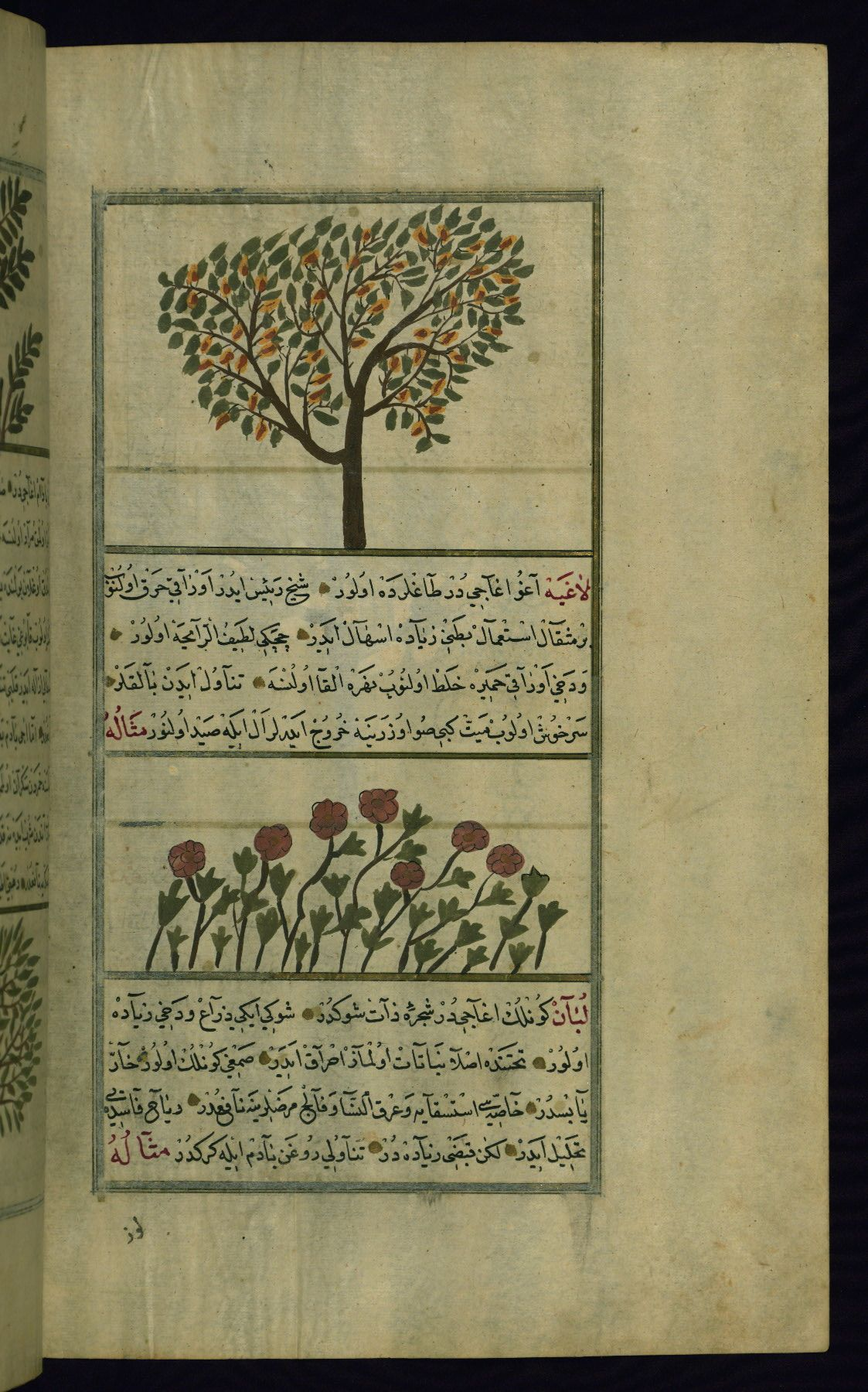 These illustrations depict a pear tree (kummathrā) and lāghiyah plants (perhaps lāʿiyah or Irish spurge).Wonders of Creation by Qazwīnī 1293 was translated to Turkish in 1717  completed by Rūzmah-ʾi Nāthānī - W659