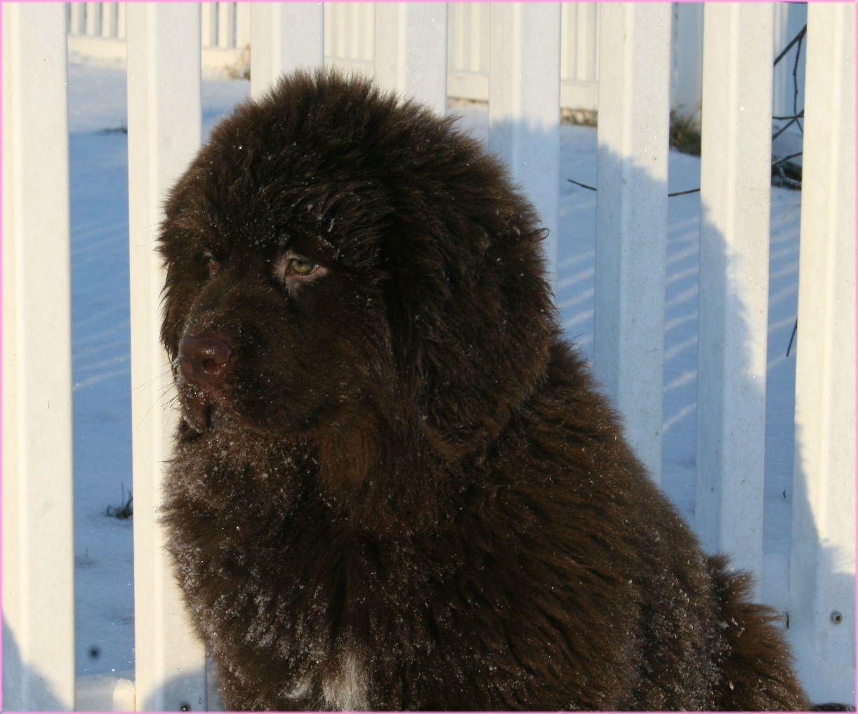 Opening Heaven's Doors_Newfoundland Puppies For Sale in PA