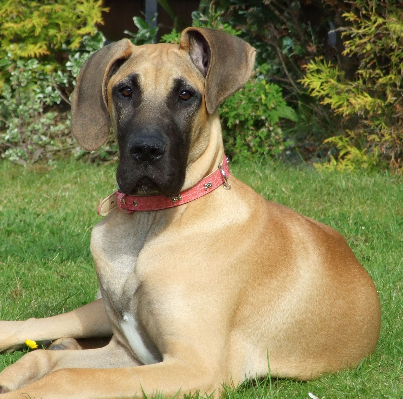 Honey The Gorgeous Great Dane She Is About 5 Months Old Here