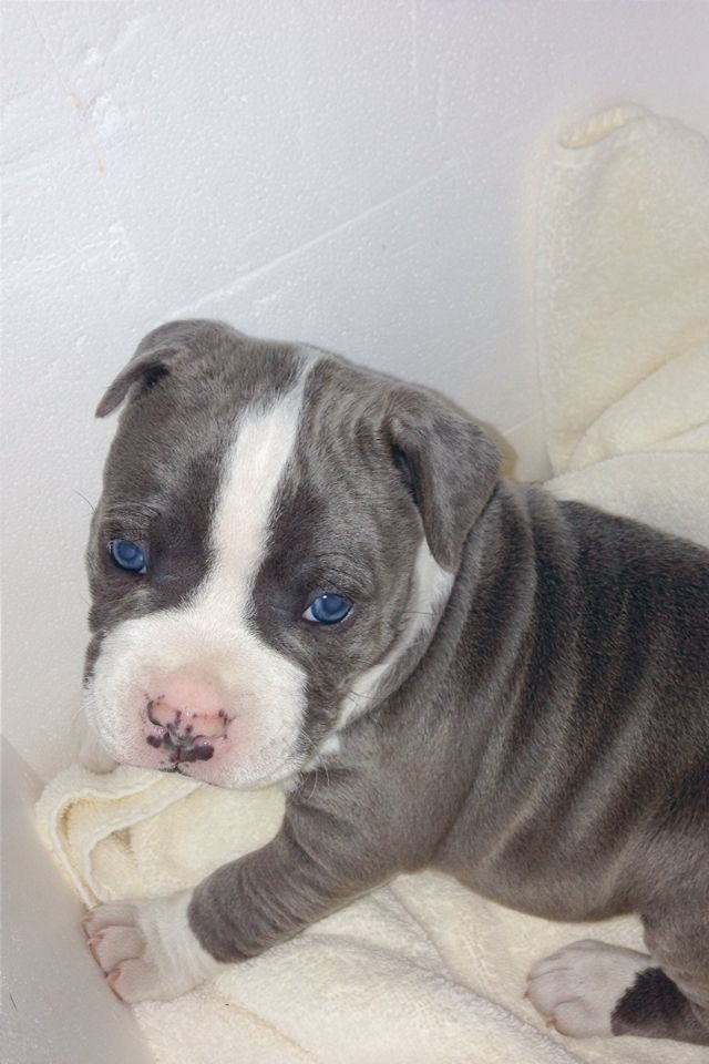 Gorgeous Eyes American Bulldog Blue Pit Mix Pitbull Terrier