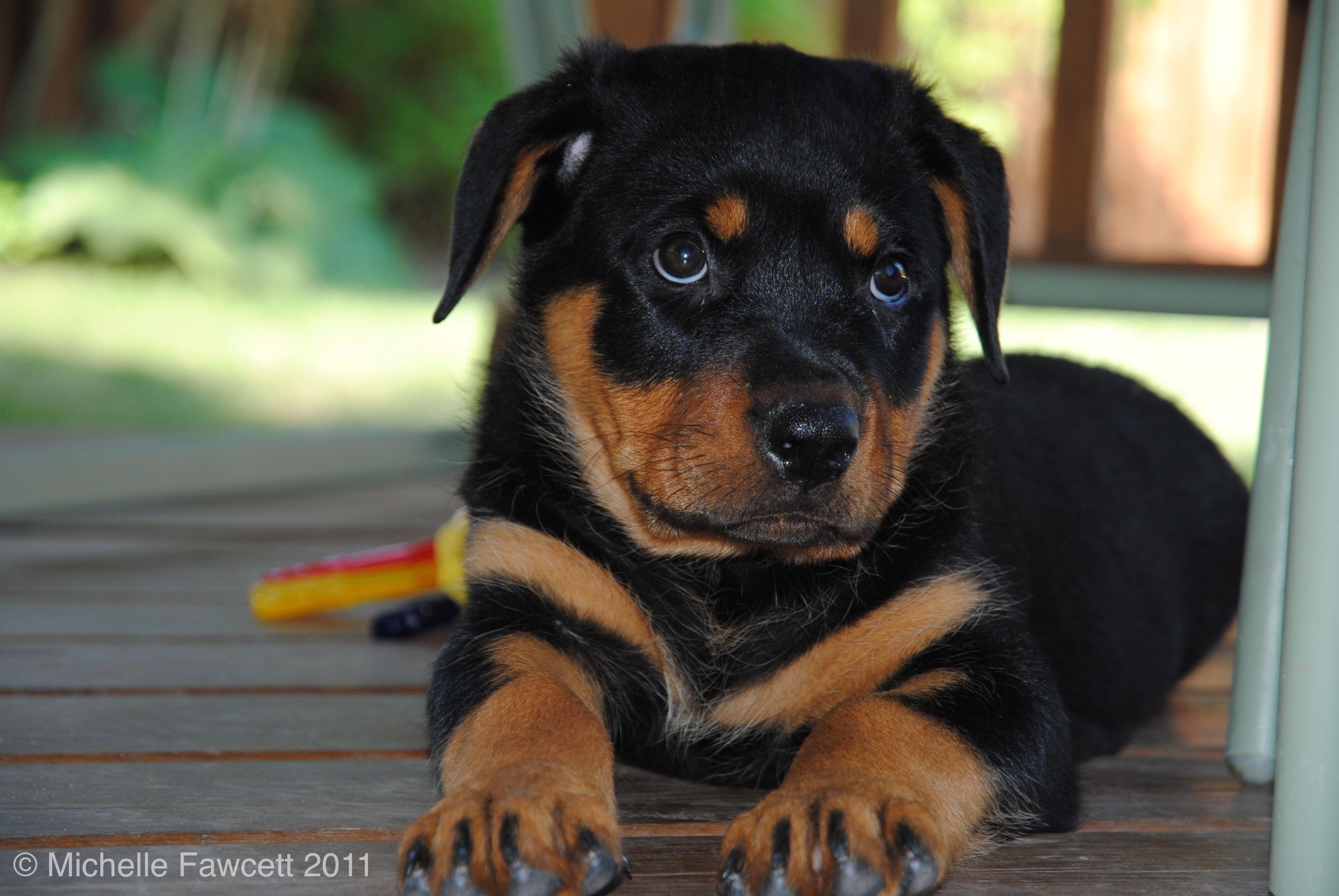 Cute Doggo Baby Boop Weargordon Gordonwear Petaccessories Pets Dogleashes Dogs Cute Adorable Do Rottweiler Puppies Rottweiler Love Rottweiler Training
