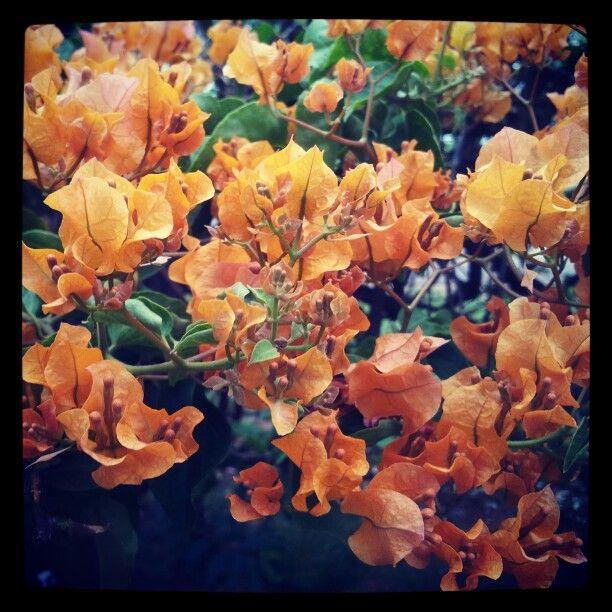 Primavera laranja
