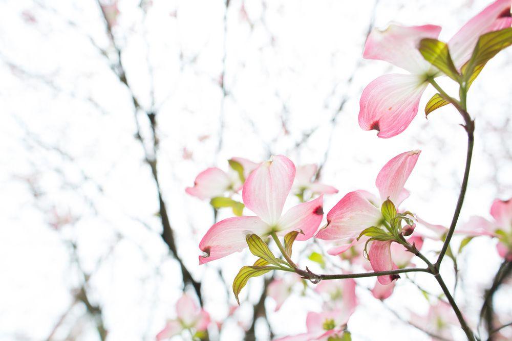 pink dogwood — Beauty Everyday