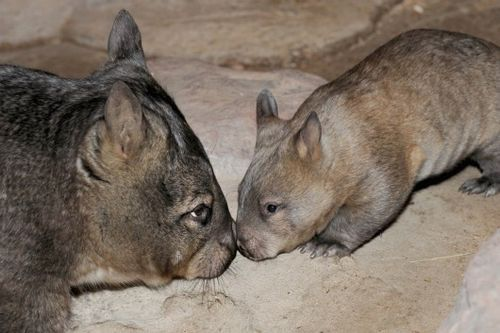 Baby Wombat and mom.