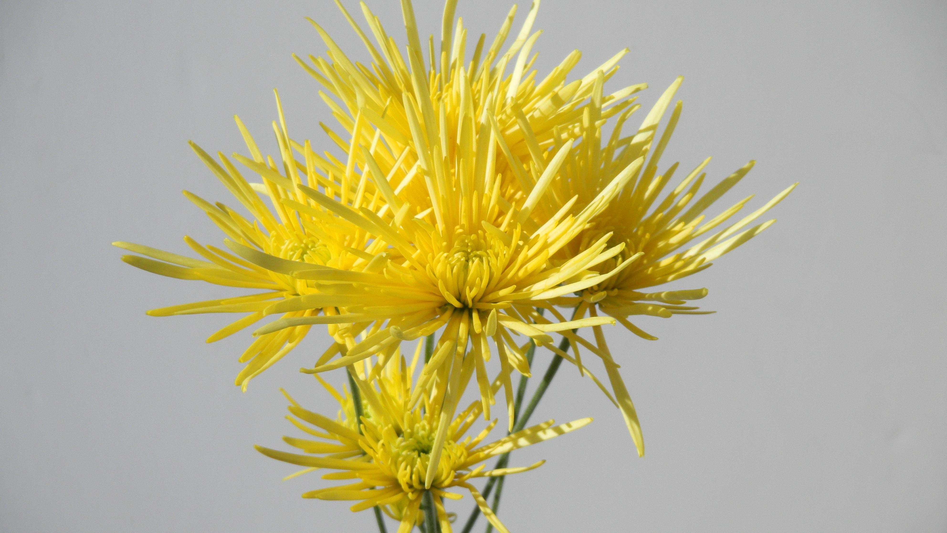 Spray Mums, Spider-yellow