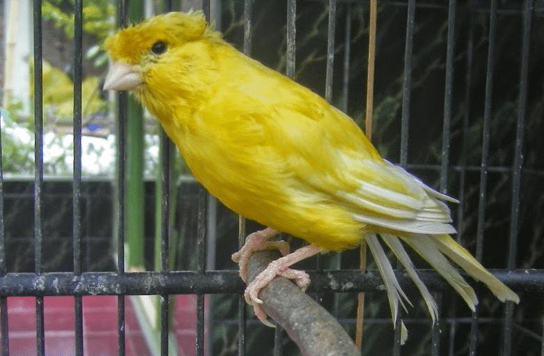 Inilah Cara Merawat Burung Kenari Yang Sudah Tua Paling Mudah Burung Kenari Jalak