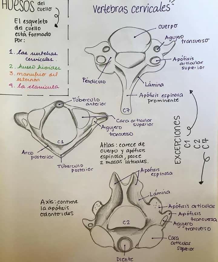 huesos del cuello | Medicina | Pinterest | Huesos, Anatomía y Medicina
