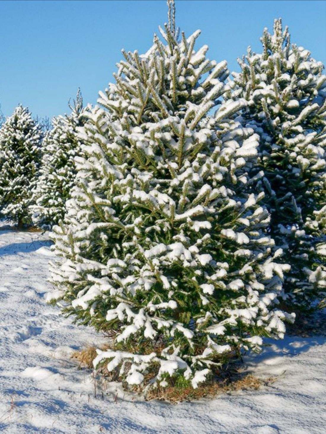 Where to Get Your Christmas Tree in Southwest Missouri in