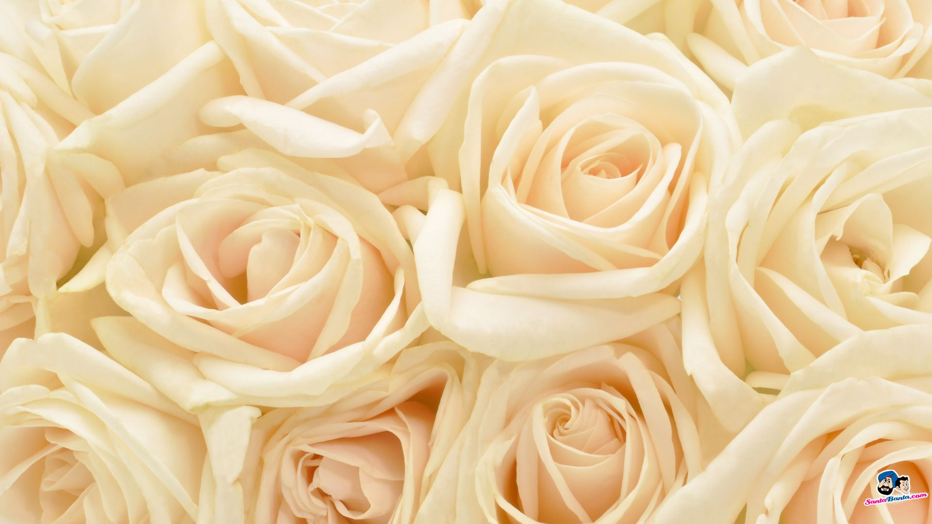 White Rose Red Roses Wallpapers For Iphone 5 HQ Backgrounds