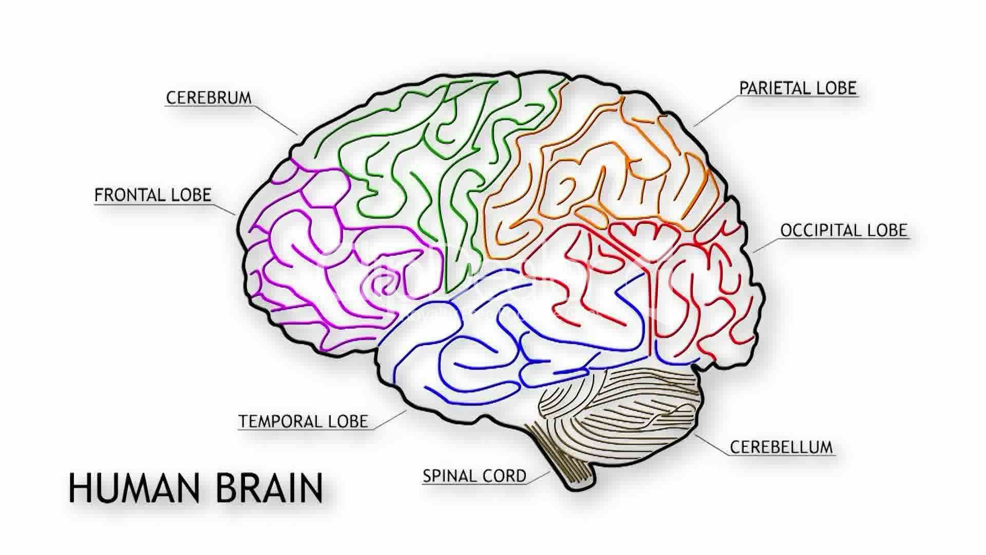 Simple diagram showing the lobes of the human brain, the ...