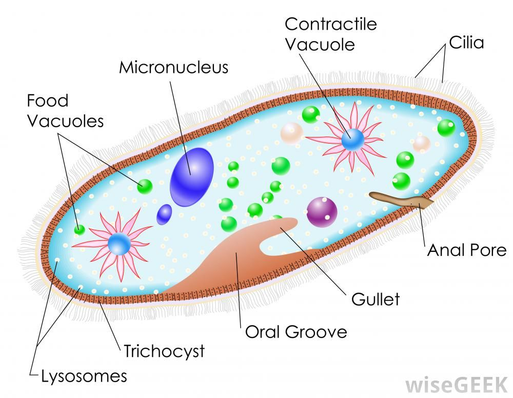 What Is Paramecium With Pictures Cell Diagram Biology Protists