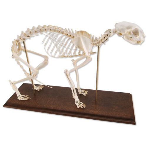 Mounted cat skeleton. On my Christmas list :) | Crazy cat lady ...