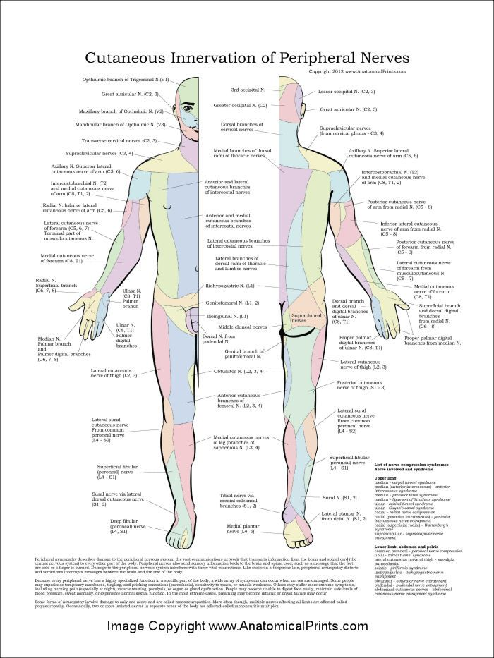 Cutaneous Innervation of Peripheral Nerves Poster - 18\