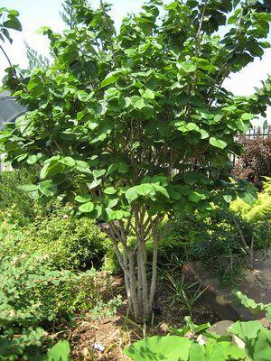Cercis Chinensis Avondale Foliage Trees To Plant