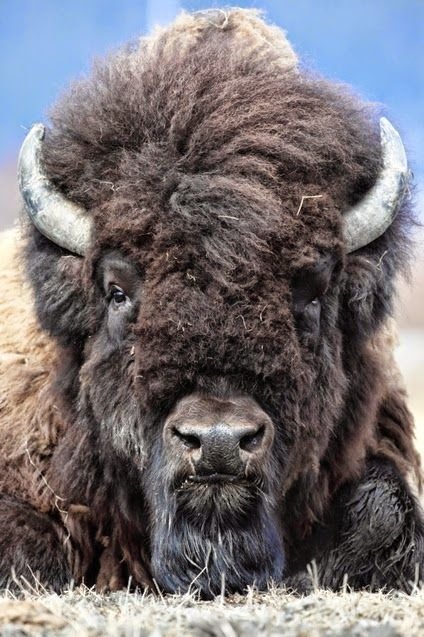 Image result for bison face
