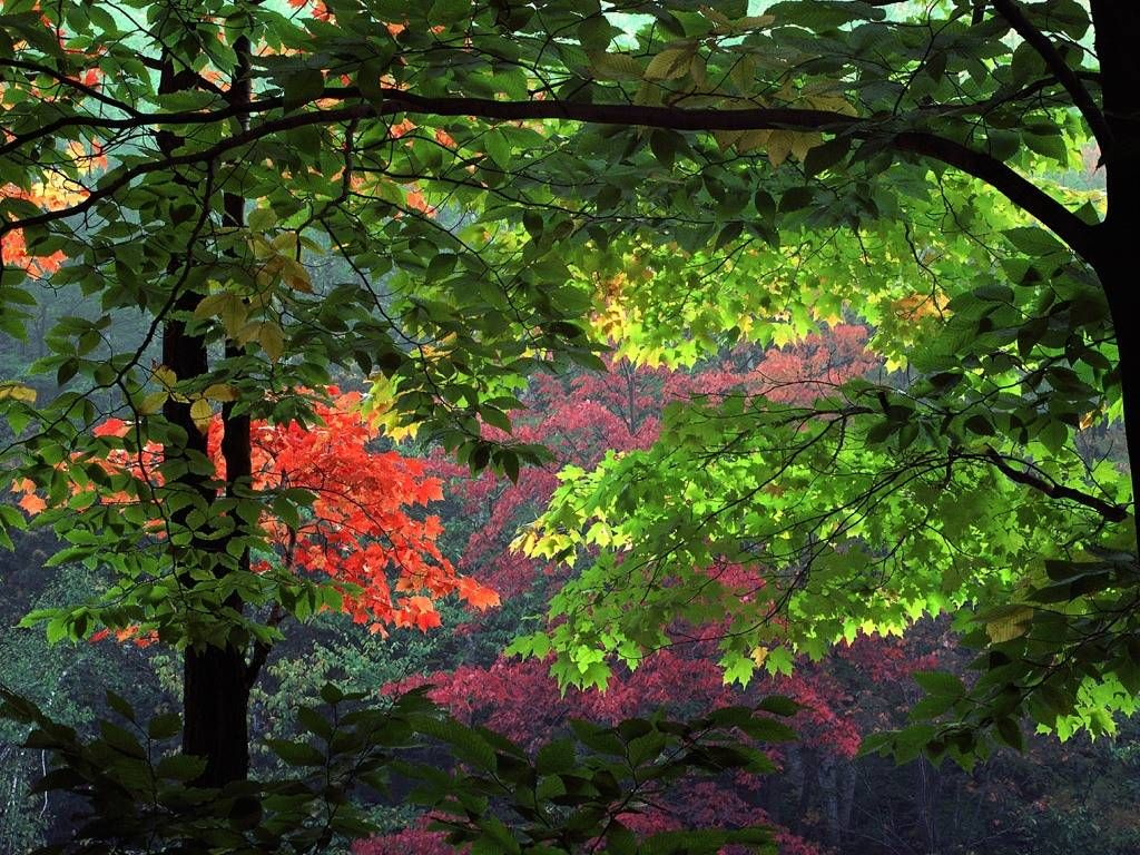 red_leafage_trees_leaves_forest_beauty_hd-wallpaper-139947.jpg (1024×768)