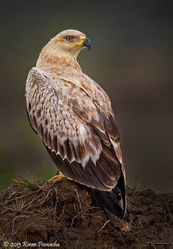 Tawny Eagle Aquila Rapax It Breeds In Most Of Africa Both North And South Of The Sahara Desert And Across Tropical S Beautiful Birds Pet Birds Birds Of Prey