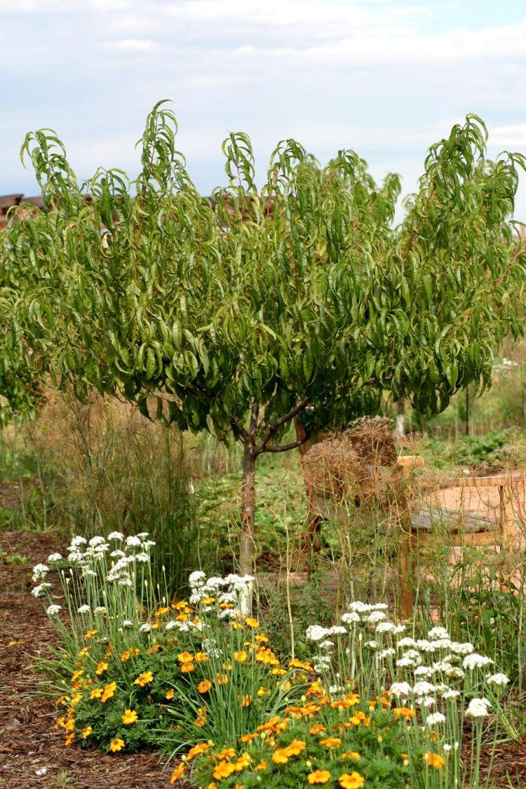 Kleiner Aprikosenbaum Unterstützt Von Der Ringelblume Als