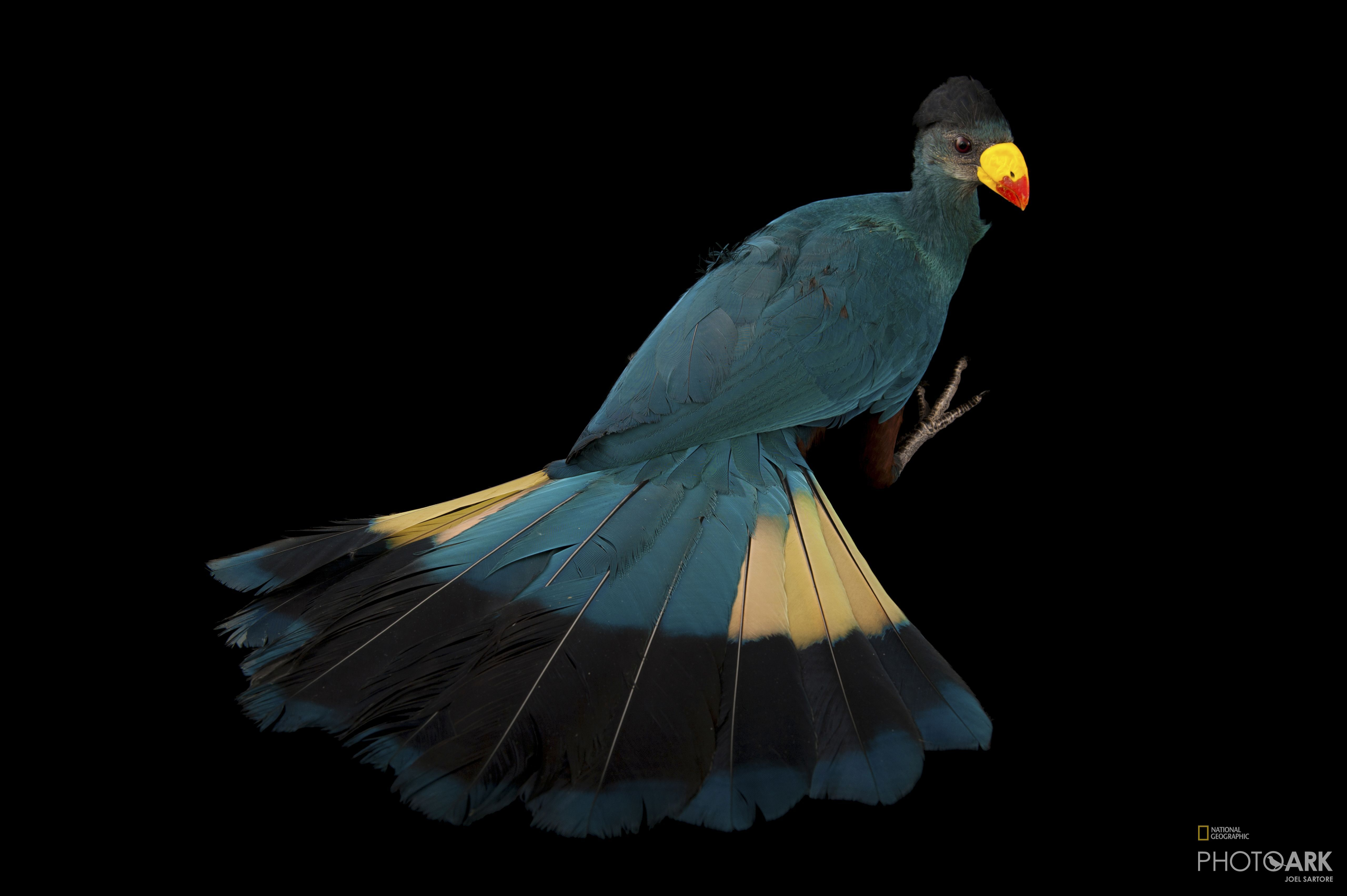 Photo Ark Home Great Blue Turaco National Geographic