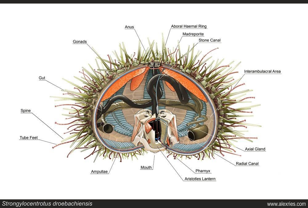 S Droebachiensis The Green Sea Urchin By Abiogenisis Deviantart Com On Deviantart Urchin Purple Sea Urchin Sea Urchin