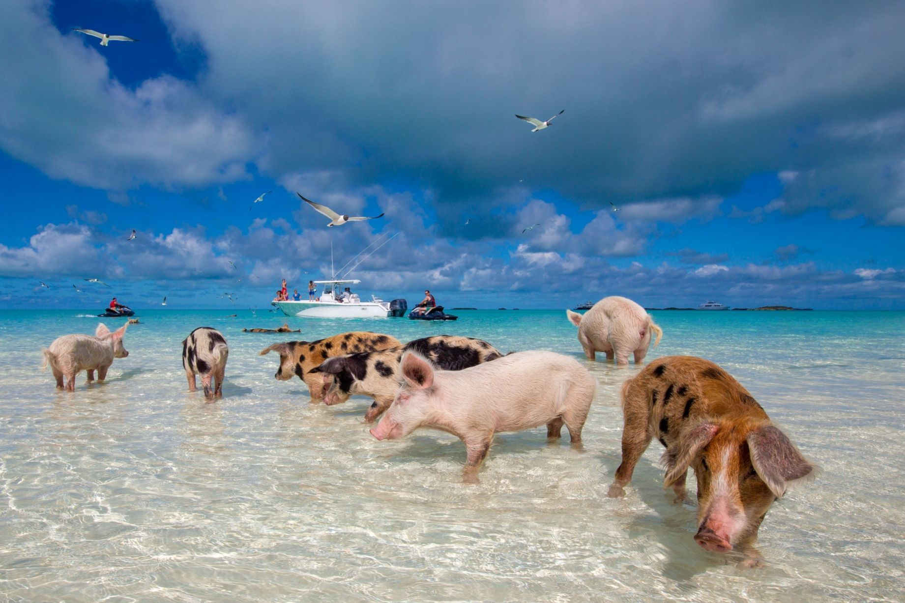There's An Island In The Bahamas With A Beach Full Of Swimming Pigs