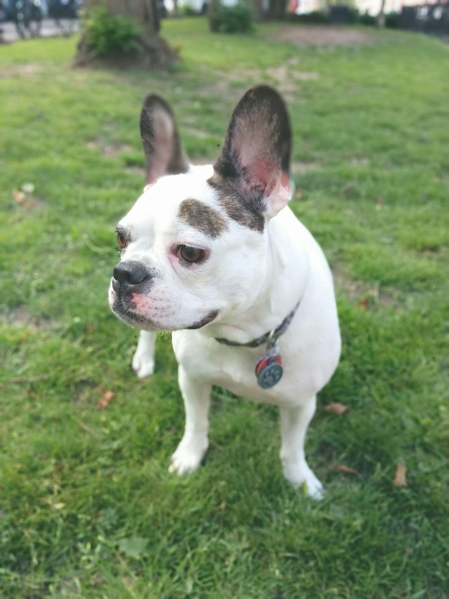Sammy In London Pets Animals French Bulldog