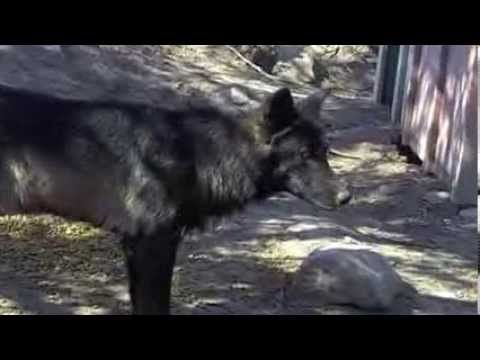 WolfWoof  ~ Video Maker ~ Ruffianlol   Pictures  and Video belongs to Katie Hirst ~ Ruffianlol (Please do not change the Descrption )