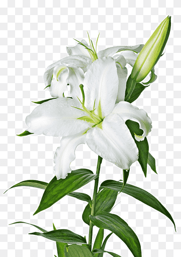 Easter Lily Lilium Candidum Arum Lily Callalily White Artificial Flower Plant Stem Png Pink Lily Flower White Lily Flower Lilium Flower