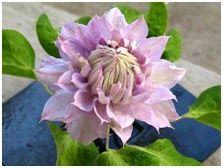 Clematis 'Belle of Woking' blomstrer fra tidlig til sein sommer. Til våren skal vi flytte denne  til et solrikt sted da vi har hatt svært liten blomstring