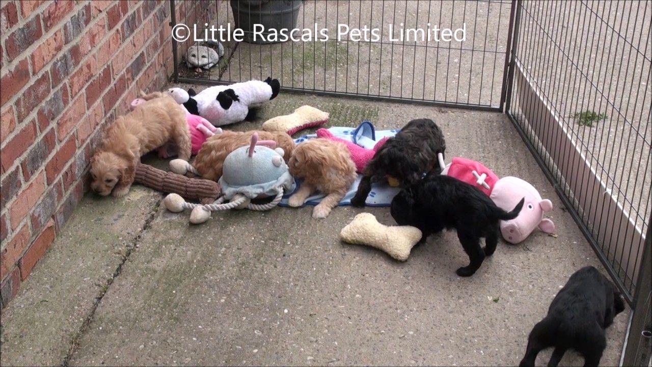Little Rascals Uk Breeders New Litter Of Cavapoo Puppies Cavapoo Puppies Puppies Cavapoo