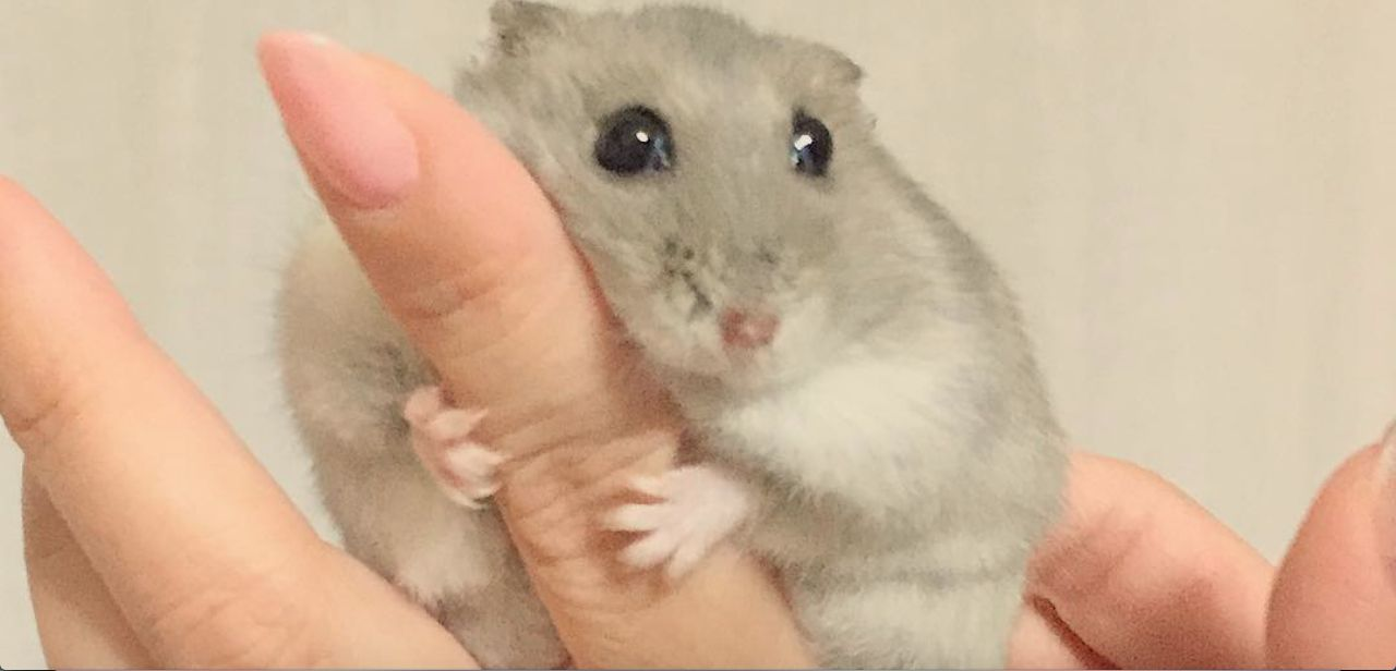 This Japanese Hamster On Instagram Is Adorable Japanese Hamster