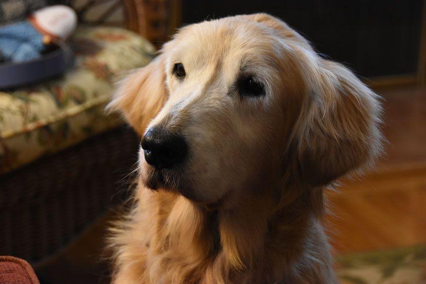 Phillis Adopted Dog Adoption Dogs Golden Retriever Golden Retriever