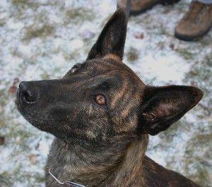 Ambra vom Vinnerholz Züchter Holländischer Schäferhunde