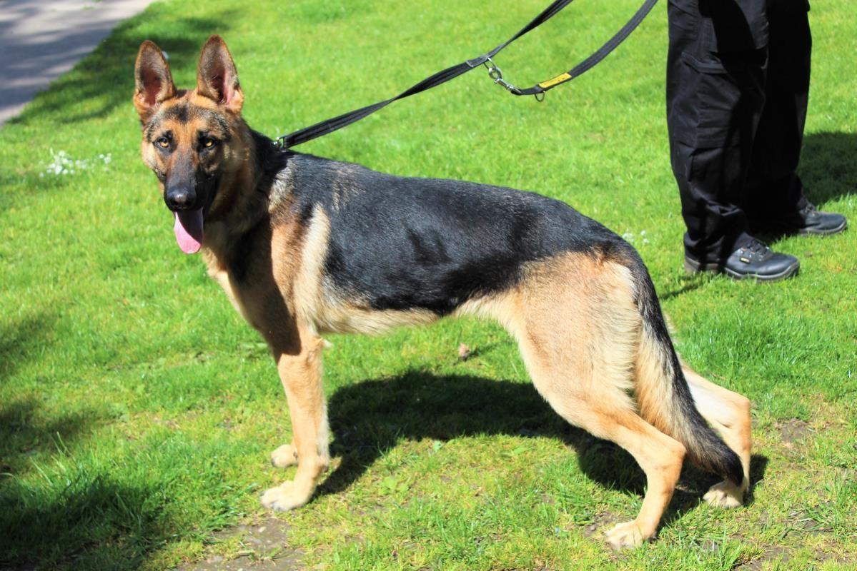 Adopt A Dog Paddy German Shepherd Dog Gsd Alsatian Dogs