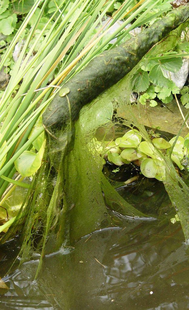 Algen Im Teich Selbst De Algen Im Teich Gartenteich Bepflanzen Wasser Im Garten