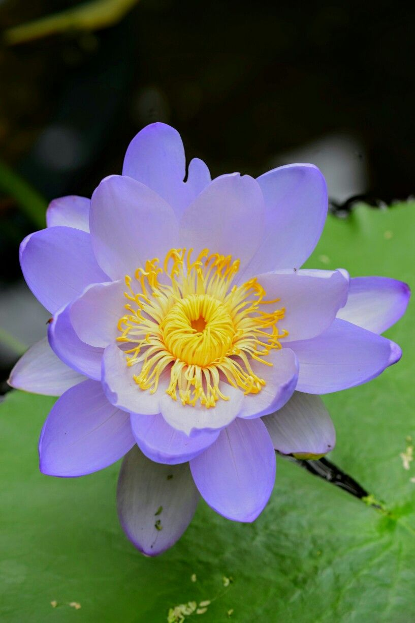 Pin by silk road beads on plants pinterest flowers flower and lotus flowers blue flowers pretty flowers wonderful flowers flower gardening flowers garden flower photography pond water features flower power izmirmasajfo