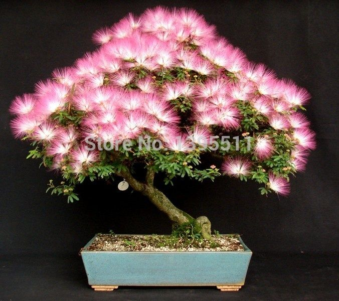 10 Pieces Bonsai Albizia Flower Seeds Called Mimosa Silk Tree For Potted Plants