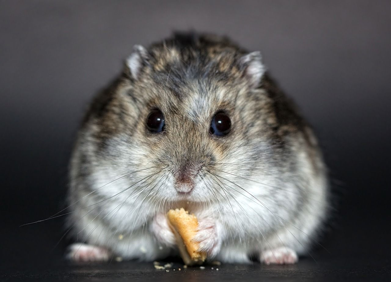 Hamster Names 350 Best Cute Names Ideas Hamster Breeds Dwarf