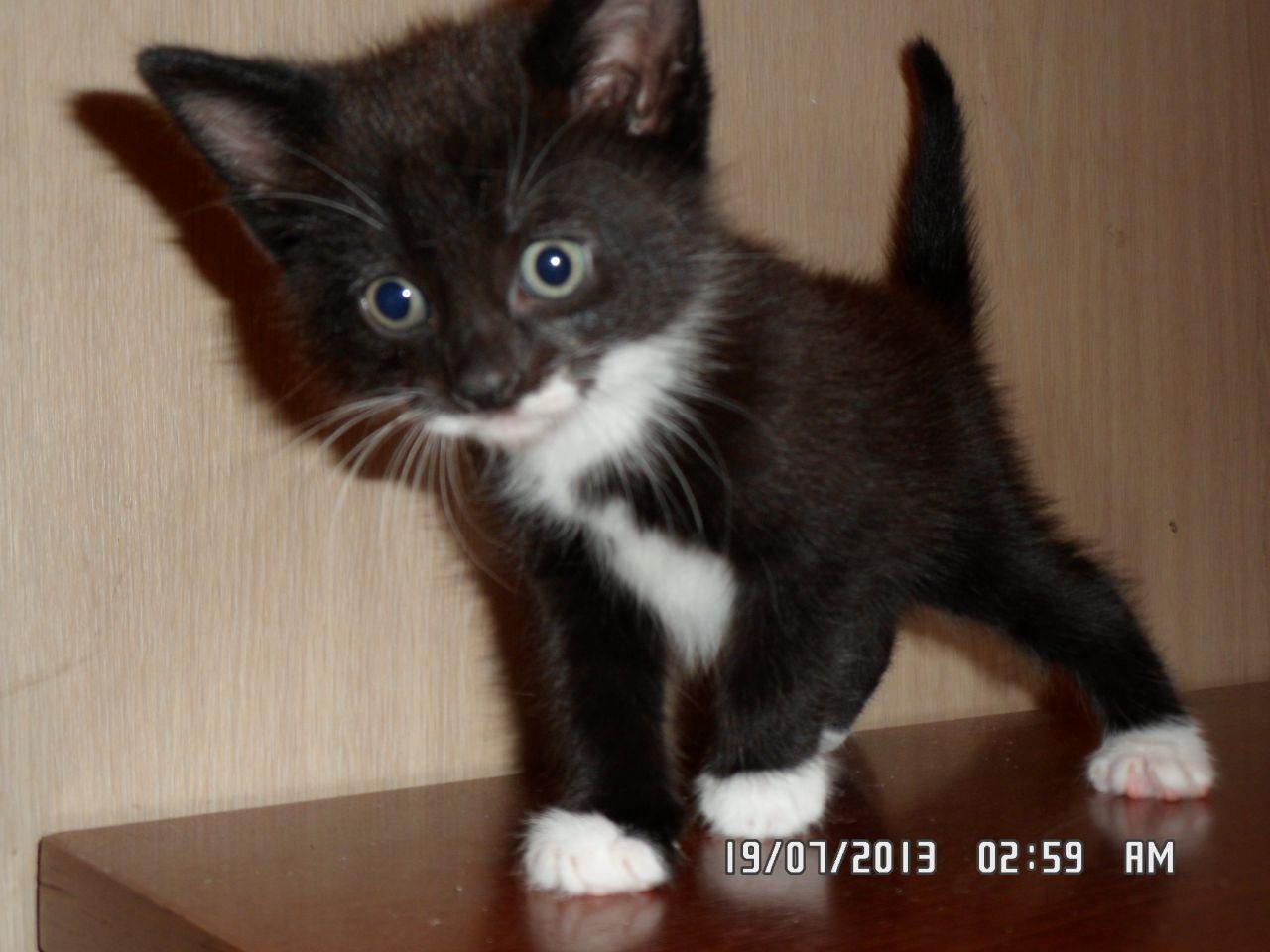 tuxedo kitteh Google Search Tuxedo cats Pinterest