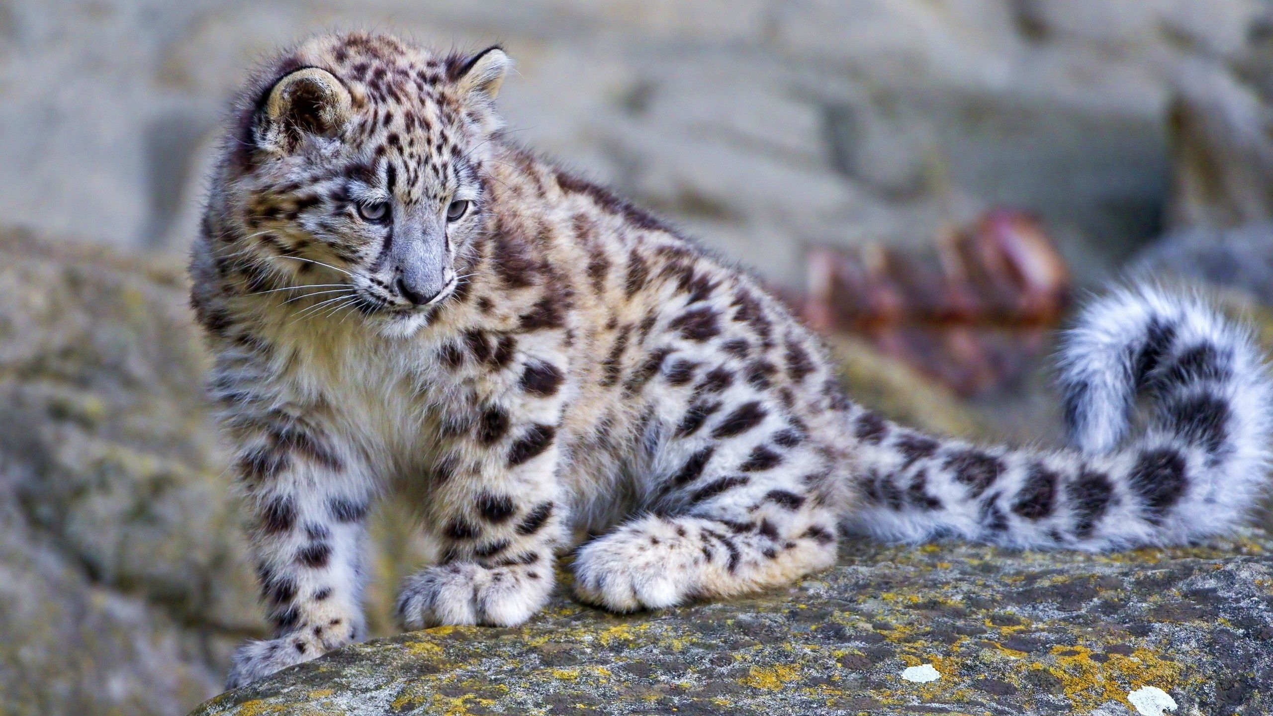 Thank you for reading our eighthpost and make sure you check our feed to see our updates on the wonderful Snow Leopard and why we adore them! Description from learn.surbitonhigh.com. I searched for this on bing.com/images
