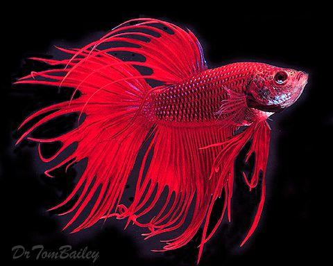 Red Male Crowntail Betta Betta Fish Types Betta Fish Care Betta
