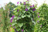 Einjährige Kletterpflanzen: 15 schnell wachsende und blühende Kletterpflanzen   - arslan19050235 #garten #gartenblumen #gartenblumenideen #schnellwachsendepflanzen