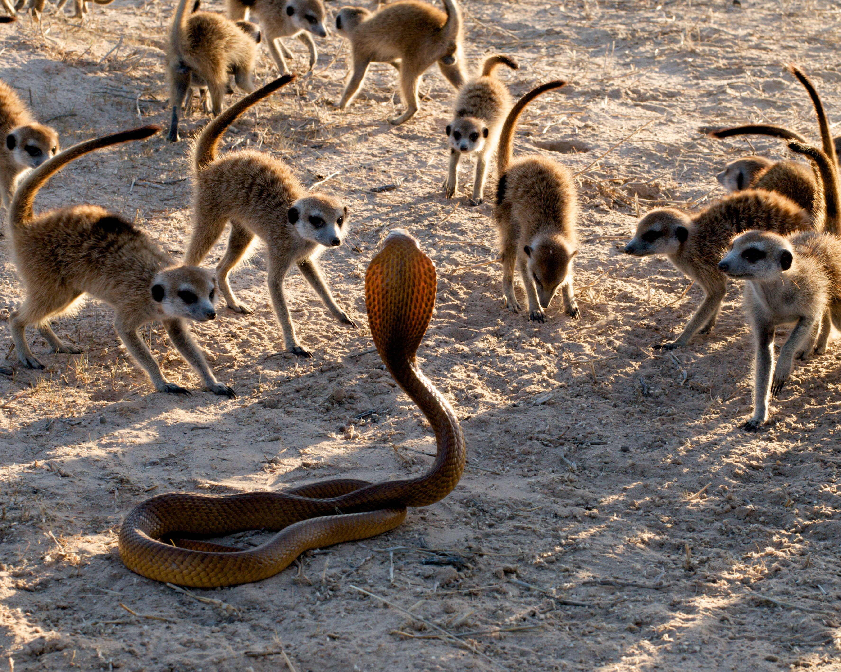Meerkat Survival Game